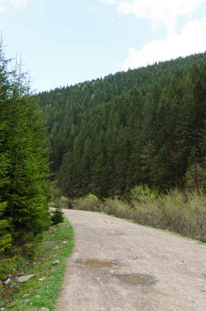 dirtroad: Narrow deserted mountain road winding through lush evergreen pine or spruce forests