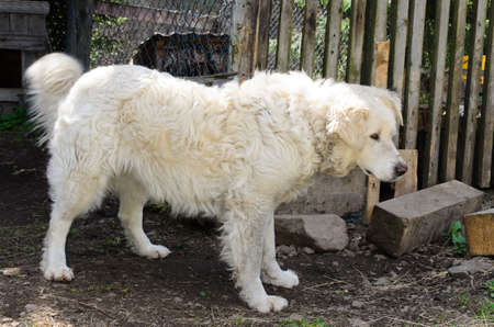 pyrenean mountain dog: Beautiful large creamy white maremma sheep dog standing sideways looking alertly off camera