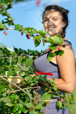 self sufficient: Young woman smiles to the camera whilst gathering blackberries, on a warm sunny day
