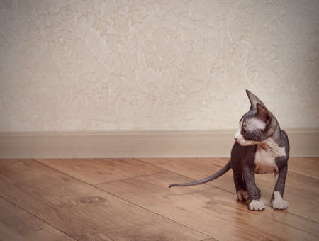 emphasizing: Close up Little Gray Sphynx Cat on Wooden Floor at Home, Emphasizing Copy Space. Stock Photo