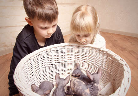 mesmerized: Close up Young White Blond Kids Looking at the Sphynx Kittens in a Basket at Home.