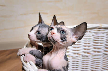 trusting: Close up Sphynx Kittens Inside a Basket at the House Looking Up with Wide Open Eyes