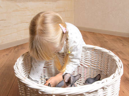 Little blond girl playing with a basket of grey and white sphynx kittens as she reaches in to lift one out photo