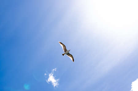 spread wings: Seagull flying high with wide spread wings towards light against a blue sky, inspirational concept of freedom and aspiration, shot from low-angle