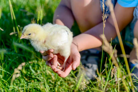 cradling: Close up Hand of a Boy Holding a Little Chick with his Both Hands While Playing at the Green Grasses.