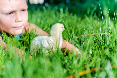 Young Boy Playing with Fuzzy Yellow Chick in Long Green Grass Outdoors in Summer Sunshine photo