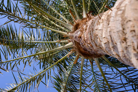 palmate: View looking up the trunk of radiating fresh green palm fronds against a blue sky symbolic of travel and a summer vacation