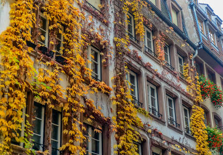 townhouse: Colorful yellow autumn creeper growing on the building facade of a historic urban apartment block or townhouse with rows of windows Stock Photo