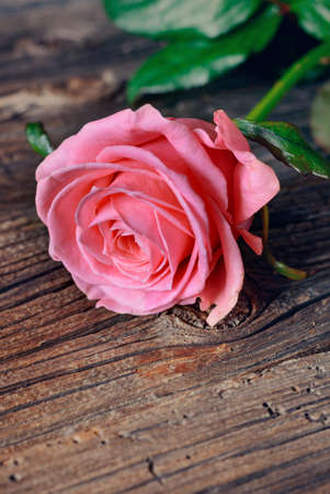 well loved: Single fresh pink rose symbolic of love and romance on a rustic wooden table for a sweetheart on Valentines Day, Mothers Day or anniversary, with copy space
