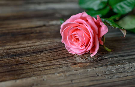 Single Fresh Pink Rose Symbolic Of Love And Romance On A Rustic