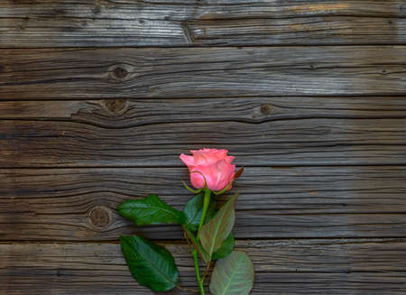 well loved: Single lovely pink rose on stem with green leaves against knotted dark wood slats Stock Photo
