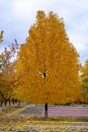 all weather: Colorful yellow autumn tree in a public park beside an all weather sports court