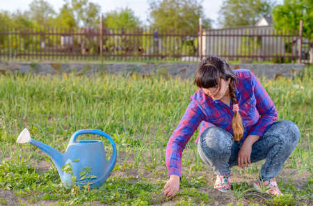 transplanted: Woman squatting weeding seedlings in her vegetable patch in the garden with a blue watering can alongside her