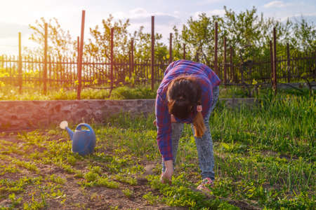 transplanted: Woman busy weeding her vegetable patch in the garden bending down to manually remove weeds from seedlings