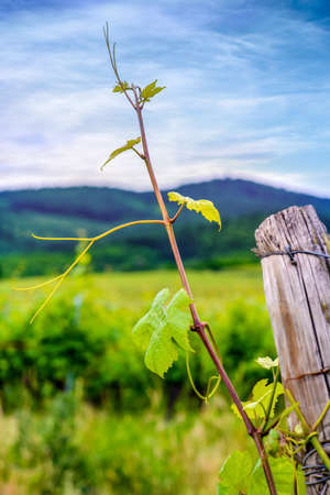Close up on the weathered wooden poles supporting trellised green leafed vines in a vineyard in spring or summer