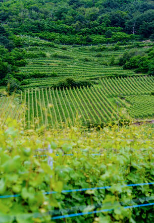 View of trellised vineyards in summer or spring looking down past vines into a valley in a concept of viticulture and wine making