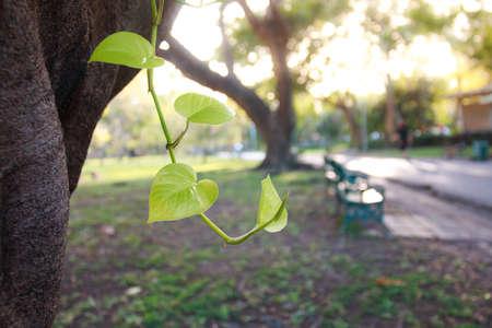 peepal: leave in the garden.
