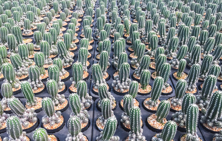 row of cactus in gravel pot, orderly concept
