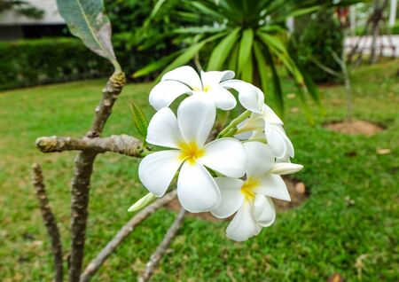 White and yellow frangipani flowers in a garden Stock Photo