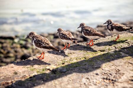 Turnstone birds looking out over the sea