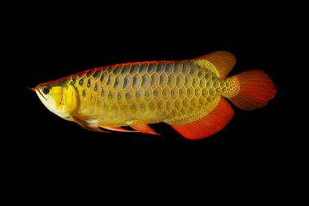 Arowana fish on black background. photo