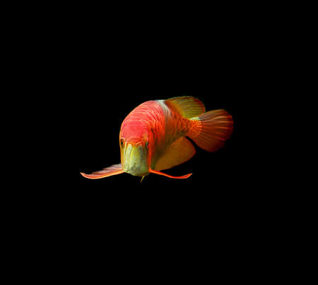 Arowana fish on black background. Stock Photo - 19589712
