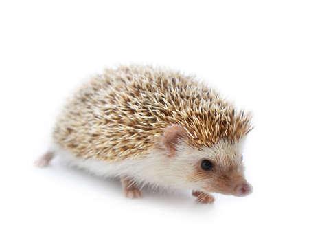 Hedgehog isolieren auf wei�em Hintergrund