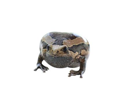 bullfrog Thailand on a white background. Stock Photo
