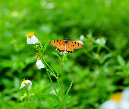 A beautiful orange butterfly resting on a white flower photo
