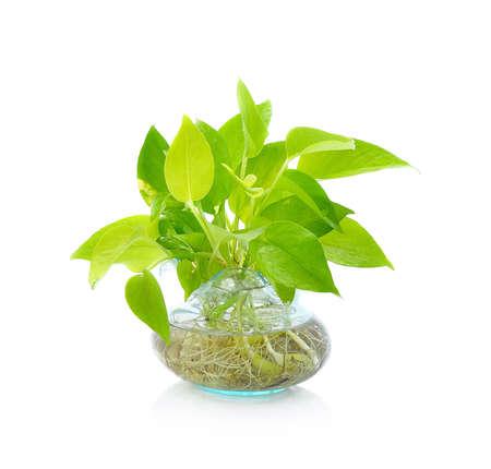 Isolated green plant in Pottery vase, fresh pothos. Stock Photo