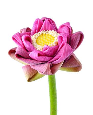 Lotus-Blume. Isolierte mit wei�em Hintergrund
