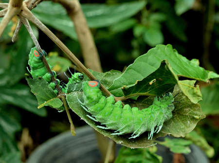 green worm are clamber on branch for eat to leaf