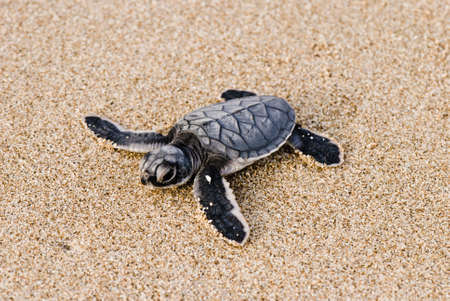 Sea turtle Stock Photo - 10626211