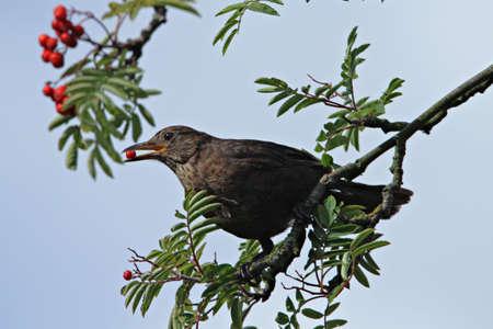 turdus: Blackbird (Turdus dissimilis)