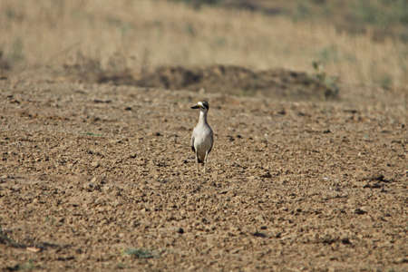 greater: Greater Thick-knee (Esacus recurvirostris)