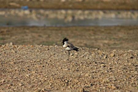 River Lapwing (Vanellus duvaucelii) Stock Photo - 7850251