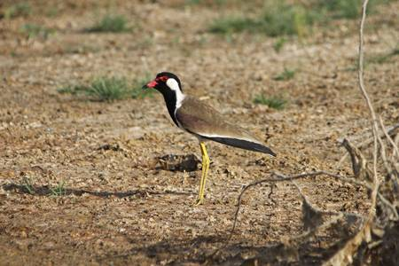 lapwing: Red-wattled Lapwing (Vanellus indicus)