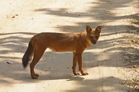 Dhole or Indian Wild Dog Stock Photo