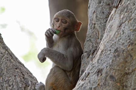 macaque: Rhesus Macaque