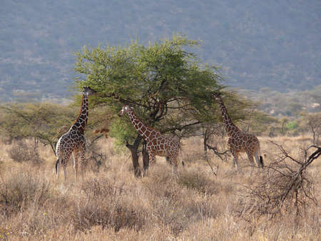 reticulata: Giraffe (G,c. reticulata) Stock Photo