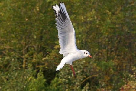 larus ridibundus: Black-headed Gull  (larus ridibundus)