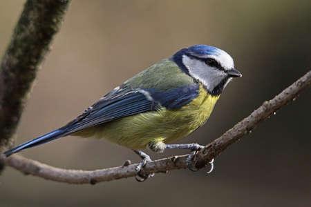Mésange bleue (parus caeruleus) Banque d'images - 9195057