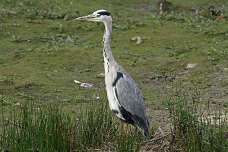 ardea cinerea: Grey Heron  (Ardea cinerea) Stock Photo