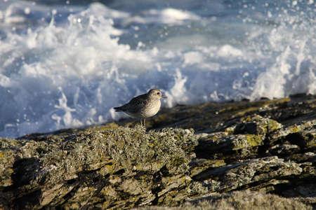 pluvialis: Grey Plover  (Pluvialis squatarloa)