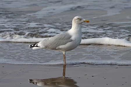 larus: Herring Gull   (Larus argentatus)