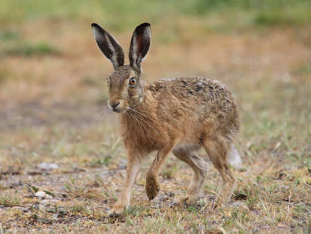 liebre: Brown Hare