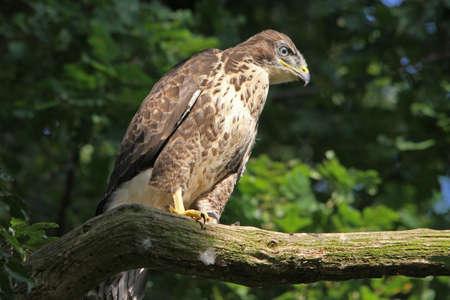 juvenile: Buzzard (Buteo buteo) Juvenile