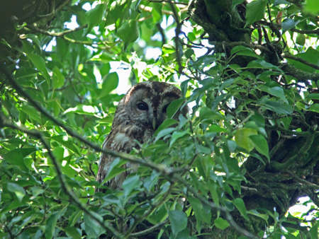 tawny owl: Tawny Owl  (Strix aluco) Stock Photo