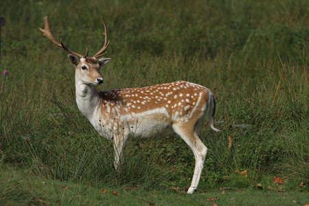 fallow deer: Fallow Deer (Stag) Stock Photo