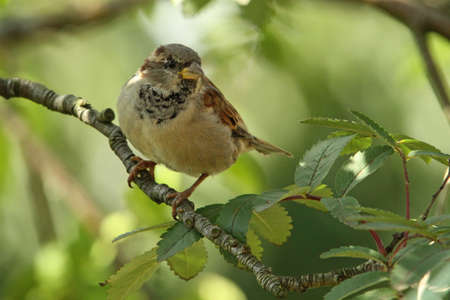 passer    by: House Sparrow  ( Passer domesticus) Stock Photo